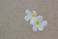 White plumeria on the beach Stock Photography