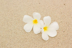 White plumeria on the beach Royalty Free Stock Photo