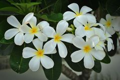 White Plumeria. Beautiful flowers with a delicate fragrance Royalty Free Stock Photo