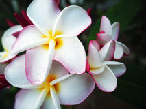 White plumeria, a beautiful Thai flowers. Closed-up white plumeria in Thailand Stock Photos