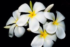WHITE PLUMERIA Stock Images