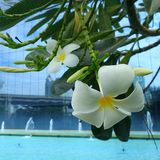 White Plumeria on blue pool side Stock Images