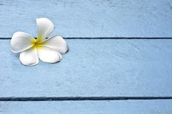 White Plumeria on blue wooden Royalty Free Stock Photography
