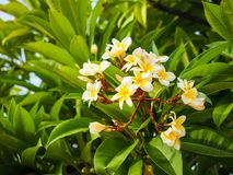 White Plumeria Bush. In front of the green leaves background Royalty Free Stock Photos