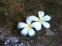 White Plumeria Stock Photography