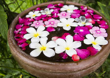 White Plumeria floating on water pot. In the garden Royalty Free Stock Photo