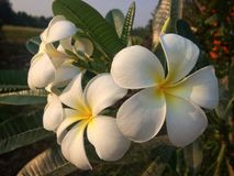 White Plumeria Stock Photos