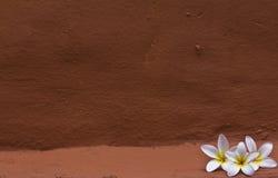 White plumeria flower Stock Photography