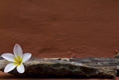 White plumeria flower Royalty Free Stock Photography