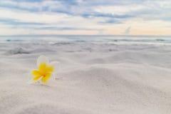 White plumeria flower on the beach.  Stock Image