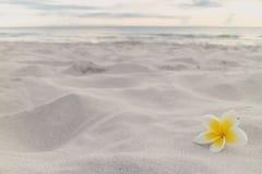 White plumeria flower on the beach.  Stock Photos