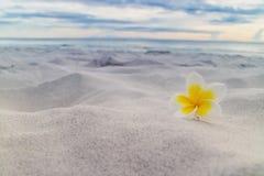 White plumeria flower on the beach.  Stock Photo