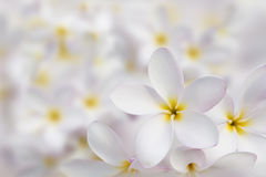 White plumeria flower beautiful background Royalty Free Stock Photo