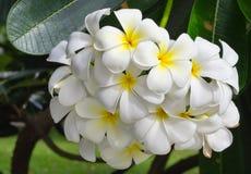 White Plumeria Flower. Beautiful white Plumeria (pagoda tree or temple tree) flower Stock Image