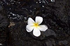 White plumeria flower on black lava. White hawaiian plumeria flower on black lava Stock Images