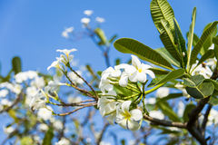 White plumeria flower with blue sky1 Stock Photos