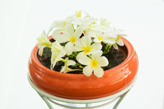 White Plumeria flower on a clay pot Stock Photography