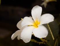 White plumeria flower close-up view royalty free stock photos