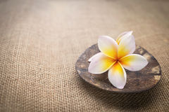 White Plumeria flower on coconut shell on hessian texture background Royalty Free Stock Images