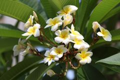 Plumeria Blooms in flower bed royalty free stock image