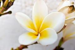 Plumeria flowers. White plumeria flower in detail Royalty Free Stock Photo