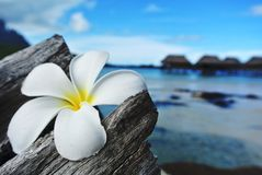 White Tropical Flower on driftwood. White plumeria flower on driftwood with tropical overwater bungalow blurred background royalty free stock photo
