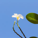 White plumeria flower Royalty Free Stock Photo