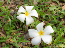 White plumeria flower on the green grass. Stock Images