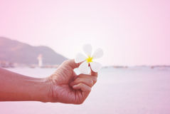 White plumeria flower on hand and the beach Royalty Free Stock Photo