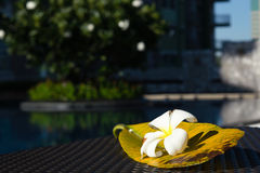White Plumeria flower with its big leaf on the table near swimming pool Stock Photos