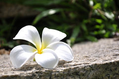 White Plumeria flower on the rock and green grass Stock Photography