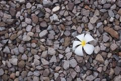 A white plumeria flower on rocks floor. Background Stock Photography