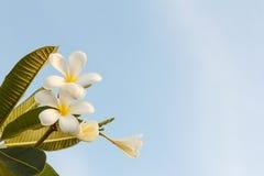 White Plumeria Flower on Sky Background Stock Images