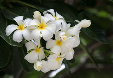 White Plumeria flower Royalty Free Stock Photography