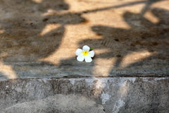 White Plumeria flower with tree shadows on grunge concrete wall Royalty Free Stock Images