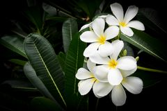 White plumeria flower. Tropical flower. Sweet fragrance. Symbolic of summer flower or tropical zone. Like to use in Spa or massage therapy. With dark vignette stock photos