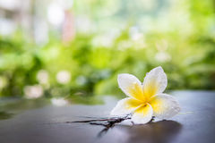 White plumeria flower with water drop Royalty Free Stock Image
