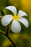 White plumeria flower with water drops Stock Images