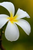 White plumeria flower with water drops Royalty Free Stock Image