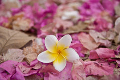 White Plumeria Flower on Wilt Pink Bougainvillea Flower Debris Royalty Free Stock Image