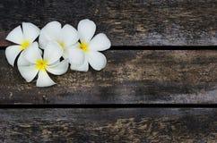 White Plumeria Stock Photos