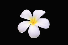 White plumeria flower. With the yellow in the middle put in the black background royalty free stock image