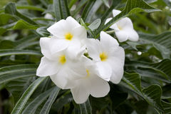 White plumeria flowers. On the little tree in garden stock photography