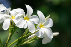 White plumeria flowers Stock Images