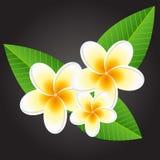 White plumeria flowers. Plumeria white flowers on black background Royalty Free Stock Photos