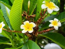 White plumeria flowers in bloom stock photos