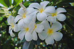 White plumeria flowers Bloom in nature. Close to the white plumeria flower Bloom in nature stock image