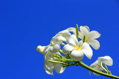 White Plumeria flowers blooming. On blue sky background Stock Photos