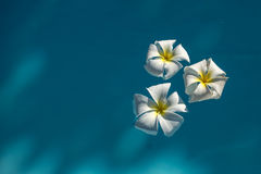White plumeria flowers in blue water Royalty Free Stock Photo