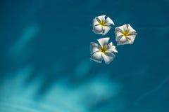 White plumeria flowers in blue water Stock Photos